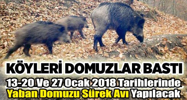 KÖYLERİ DOMUZLAR BASTI!..